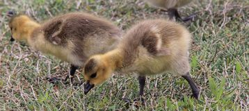 Goslings Royalty Free Stock Image