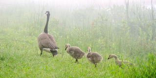 Goslings follow the leader Stock Image