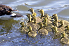 Goslings Go For A Swim Royalty Free Stock Image