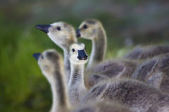 Goslings go to the river Stock Image