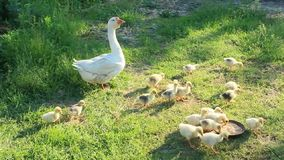 Goslings with goose on the grass stock video