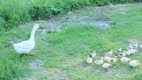 Goslings with goose in the poultry-yard stock video