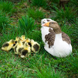 Goslings on grass Royalty Free Stock Images