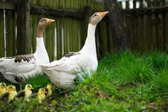 Goslings on grass Stock Photos