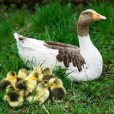 Goslings on grass Royalty Free Stock Photos