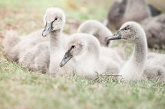 Goslings on grass Stock Image