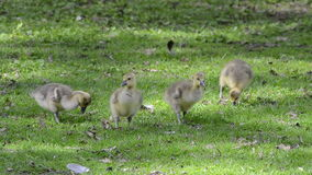 Goslings on a green meadow stock video footage