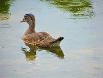 Goslings Royalty Free Stock Images