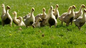 Goslings on a meadow animals farm. Theme stock video
