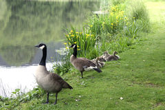 Goslings with parents at the pond Royalty Free Stock Images