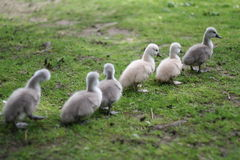 Goslings. In a park on cologne, germany Stock Photography