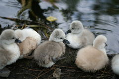 Goslings. In a park on cologne, germany Royalty Free Stock Image