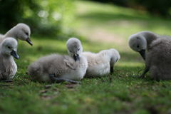 Goslings. In a park on cologne, germany Royalty Free Stock Photos