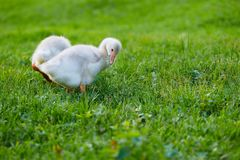 The goslings pecking at the grass on the farm. The goslings pecking at the grass royalty free stock images