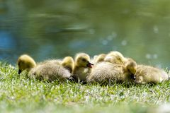 Goslings at rest in the sun stock photography
