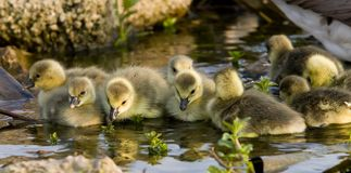 Goslings in Sunshine. Group of nine young yellow hairy goslings in evening sunshine Royalty Free Stock Image