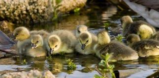 Goslings in Sunshine Royalty Free Stock Image