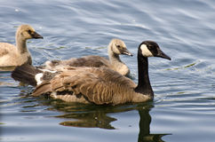 Goslings Swimming With Mom Stock Photo
