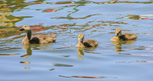 3 goslings Stock Images