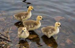 Goslings taking a paddle Royalty Free Stock Image