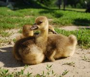Goslings Stock Photos
