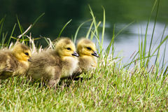 Goslings at Water's Edge. Three baby geese goslings are resting at the water's edge in a Northern Virginia Regional Park.  Their yellow and grey fur is Royalty Free Stock Photography