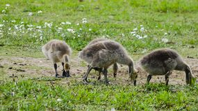 Goslings a week old and on the move 1b. A beautiful day in England stock image