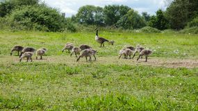 Goslings a week old and on the move 2c. A beautiful summer day in England stock photos