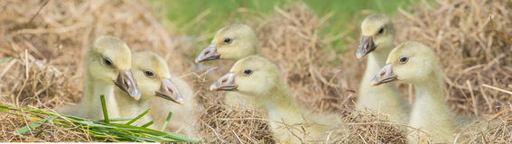 Goslings - white goose royalty free stock photo