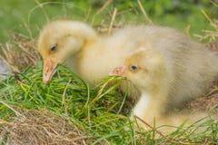 Goslings - white goose. Anser anser domesticus stock photo