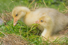 Goslings - white goose stock photo