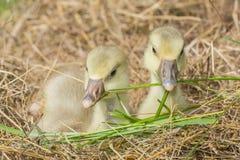 Goslings stock image