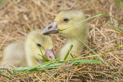 Goslings stock images