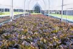 Gospodarstwo rolne świeża czerwieni i zieleni warzywa sałatka Fotografia Stock