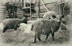 Gospodarstwo rolne Cakle w sheepfold Pocztówka z starym skutkiem fotografia stock