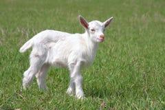 gospodarstwo rolne pasający dzieciaka niedorzeczny biel Zdjęcia Stock