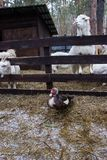 Gospodarstwo rolne z caklami i kózkami fotografia stock