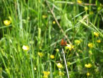 Gossamer τα φτερωτά phlaeas Lycaena πεταλούδων ή η κοινή πεταλούδα χαλκού σε έναν κλαδίσκο στο πράσινο υπόβαθρο στοκ φωτογραφία με δικαίωμα ελεύθερης χρήσης