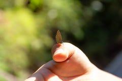 Gossamer-φτερωτή πεταλούδα σε διαθεσιμότητα της ασιατικής γυναίκας στο δάσος στοκ εικόνα με δικαίωμα ελεύθερης χρήσης