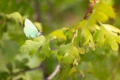 Gossamer-φτερωτή πεταλούδα το πρωί στοκ εικόνες