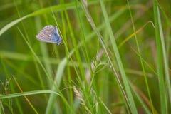 Gossamer-φτερωτή πεταλούδα το πρωί στοκ εικόνες με δικαίωμα ελεύθερης χρήσης