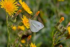 Gossamer-φτερωτή πεταλούδα το πρωί στοκ φωτογραφίες