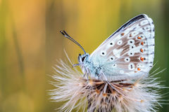 Gossamer φτερωτή πεταλούδα στοκ φωτογραφία με δικαίωμα ελεύθερης χρήσης