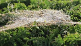 Gossamer on the bush. Spider trap, close-up stock video