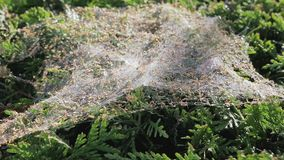 Spiderweb on the bush. Gossamer on the bush. Spider trap, close-up stock video