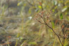 Gossamer Indian summer. Autumn dry plant with spiderweb in the morning meadow Stock Photo
