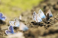Gossamer-winged butterflies Royalty Free Stock Photo
