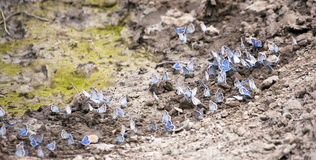 Gossamer-winged Butterflies on a ground Stock Image