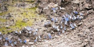 Gossamer-winged Butterflies on a ground