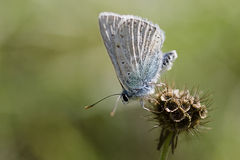 Gossamer-winged Butterfly royalty free stock photos